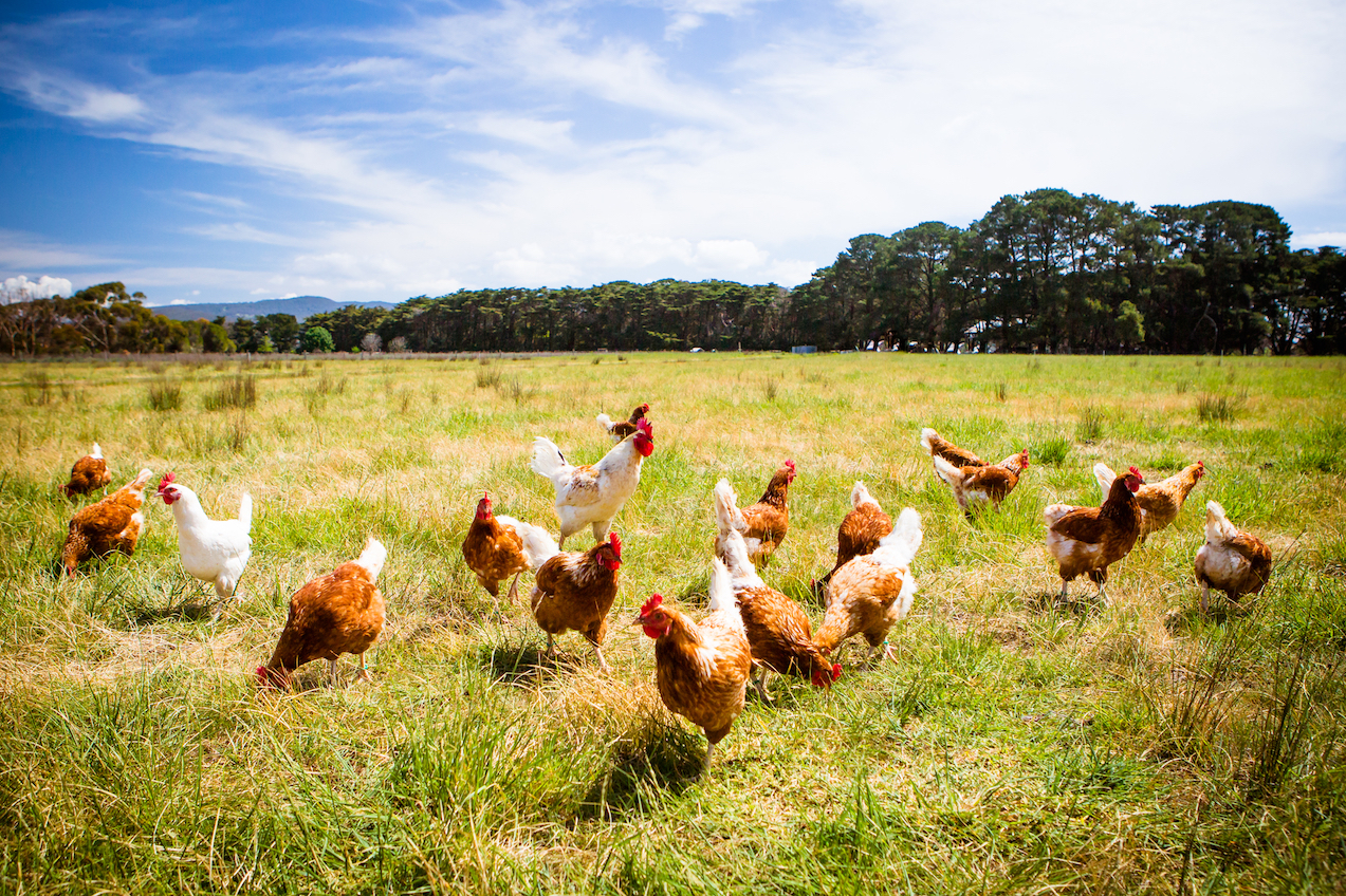 In an effort to meet the worldwide demand for chicken, scientists have examined how best to maximize size and weight in chickens.