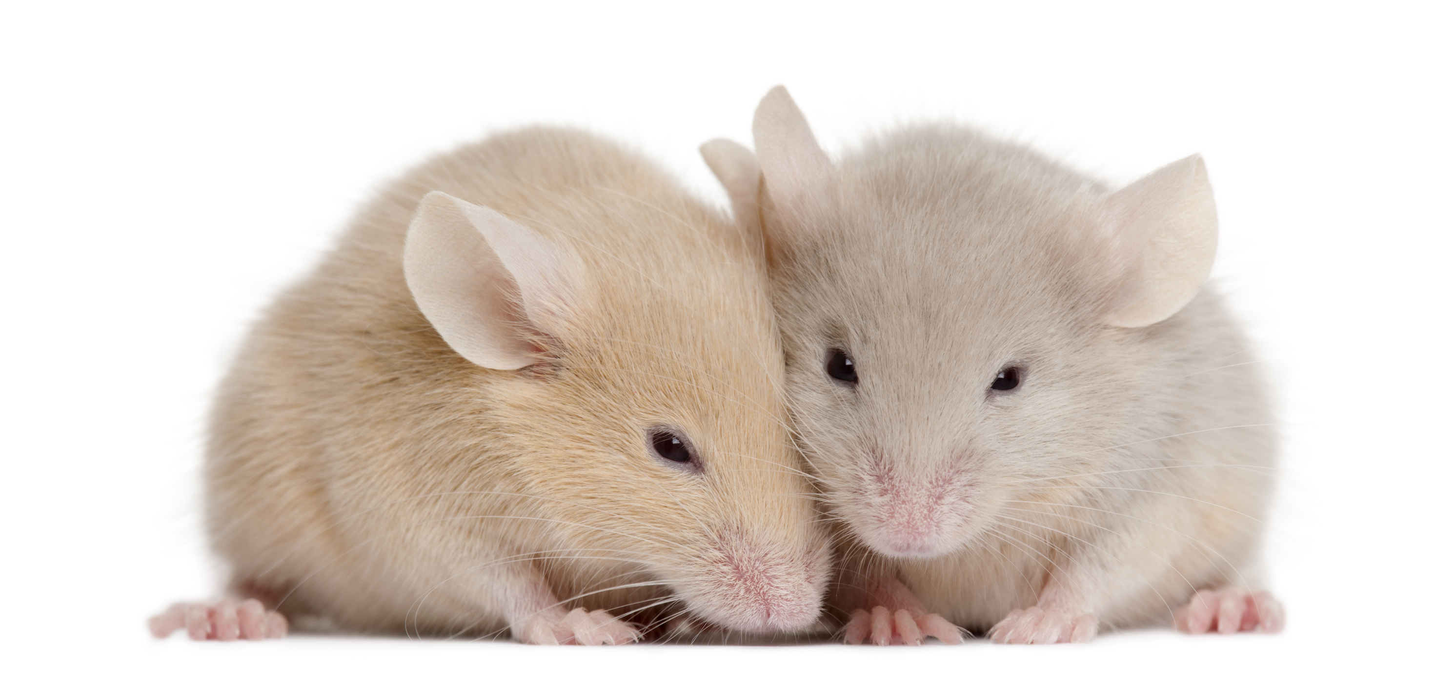 Humans are able to experience empathy for the pain of other humans. But could mice be capable of this as well?