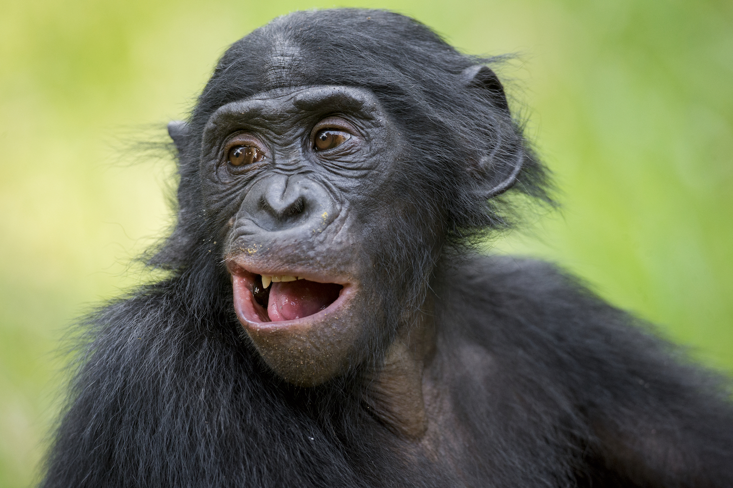 A new study from University of Birmingham and Durham University found that humans and bonobos mimic in very different ways.