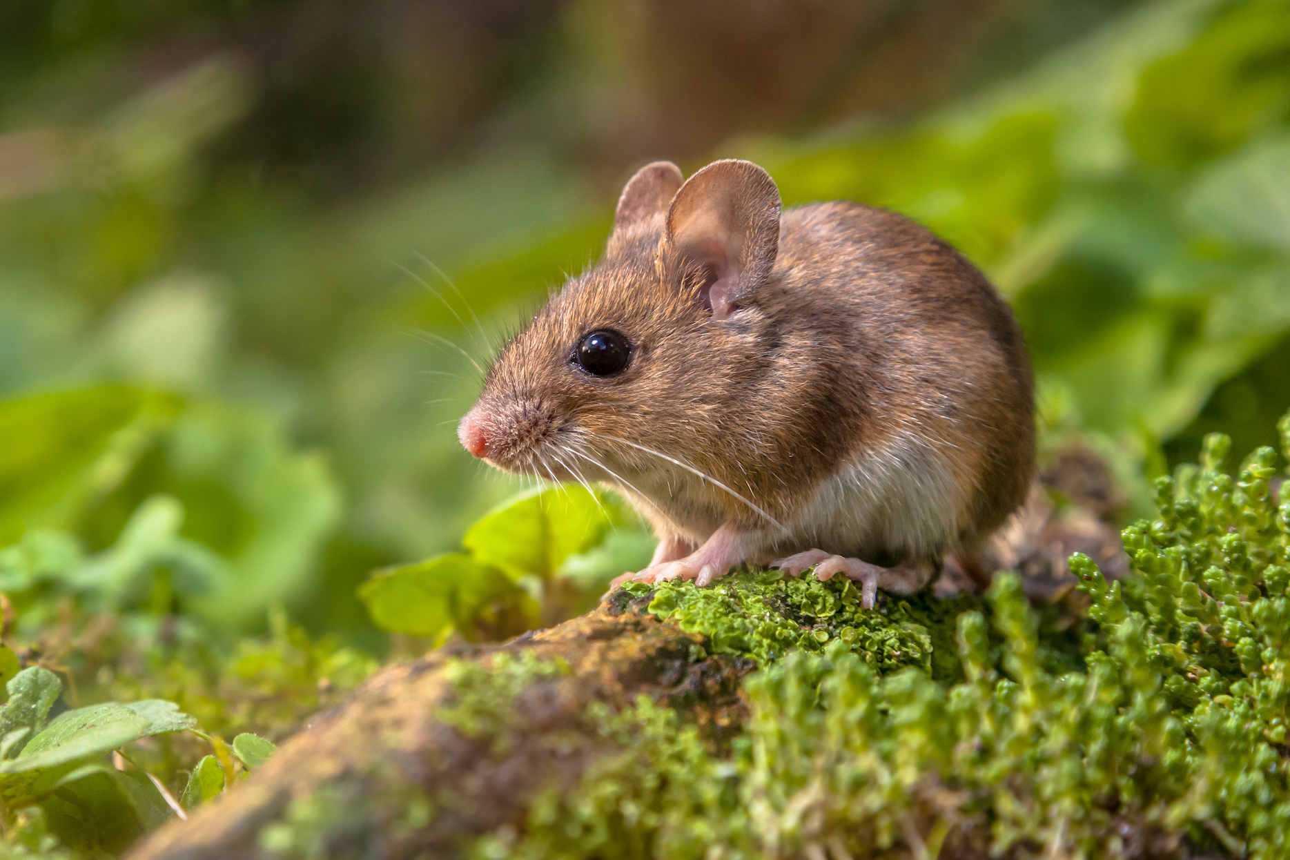 Researchers studied whether aggression in male mice is due to environmental factors or if they are genetically predisposed to this behavior.