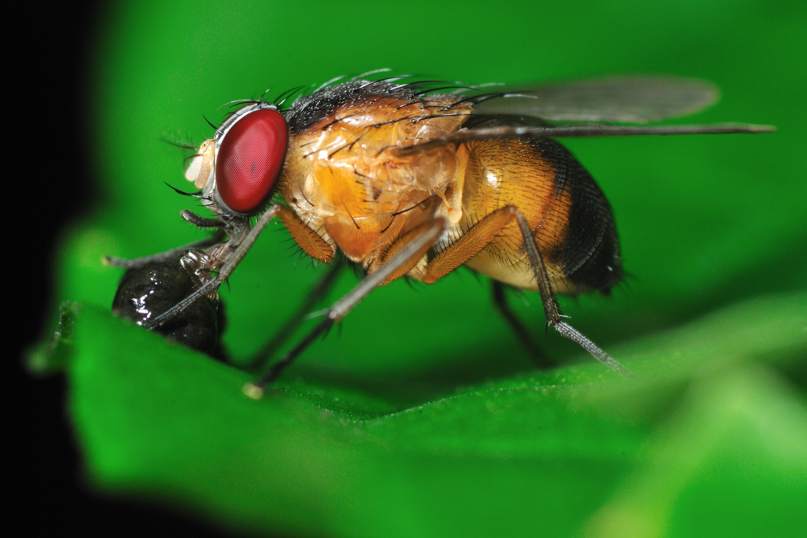 A recent study from the journal Nature Communications has found interesting patterns in how a fruit fly decides to mate or sleep.
