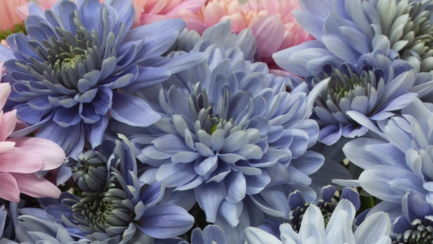 After 13 years of extensive research, scientists in Japan have created the world's first blue chrysanthemums.
