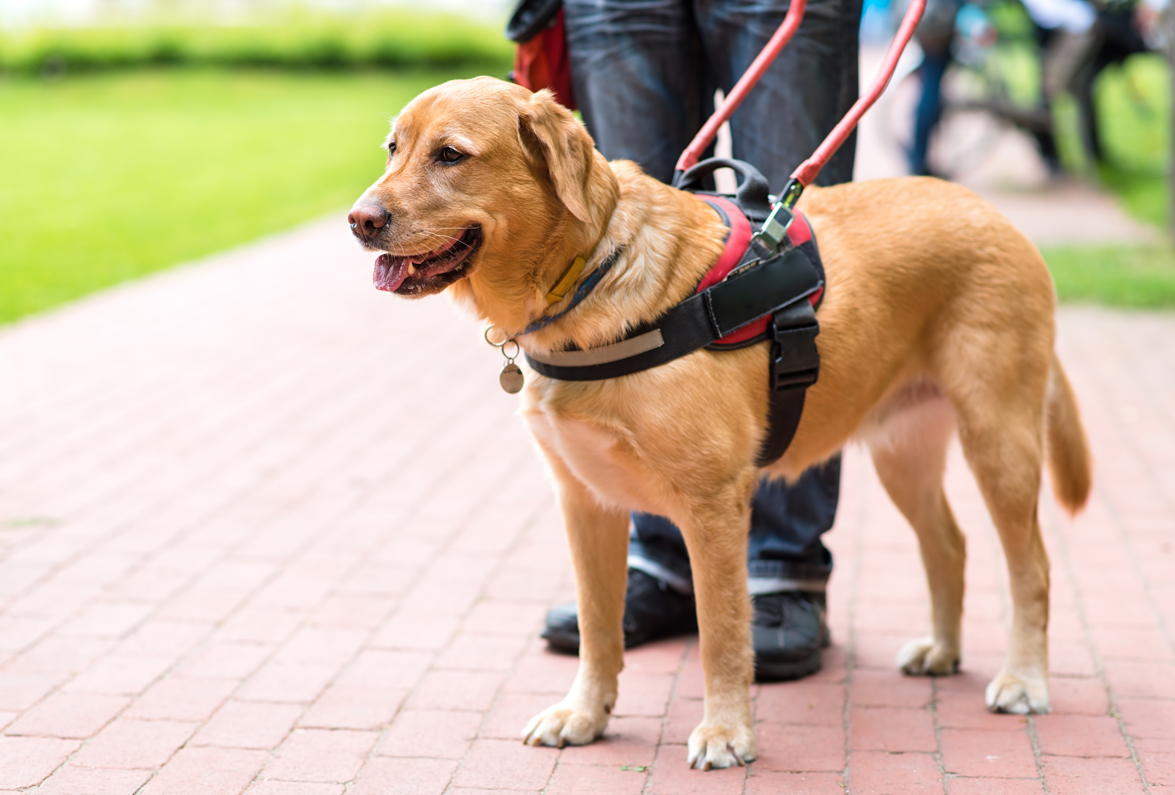 New research took an in-depth look at guide dogs with overprotective and how it impacted their performance.