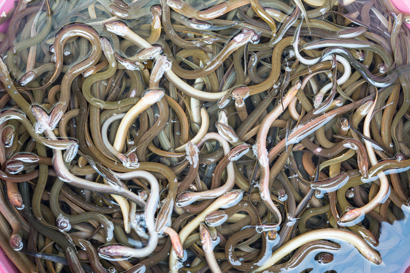 A huge increase in the value of American eels has given rise to a lucrative black market, prompting a massive federal investigation.