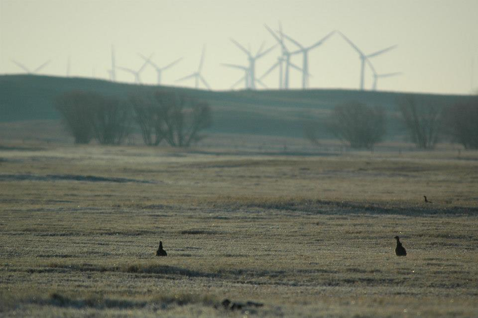 There has been growing concern that wind energy farms might add to the growing list of threats facing the endangered birds.