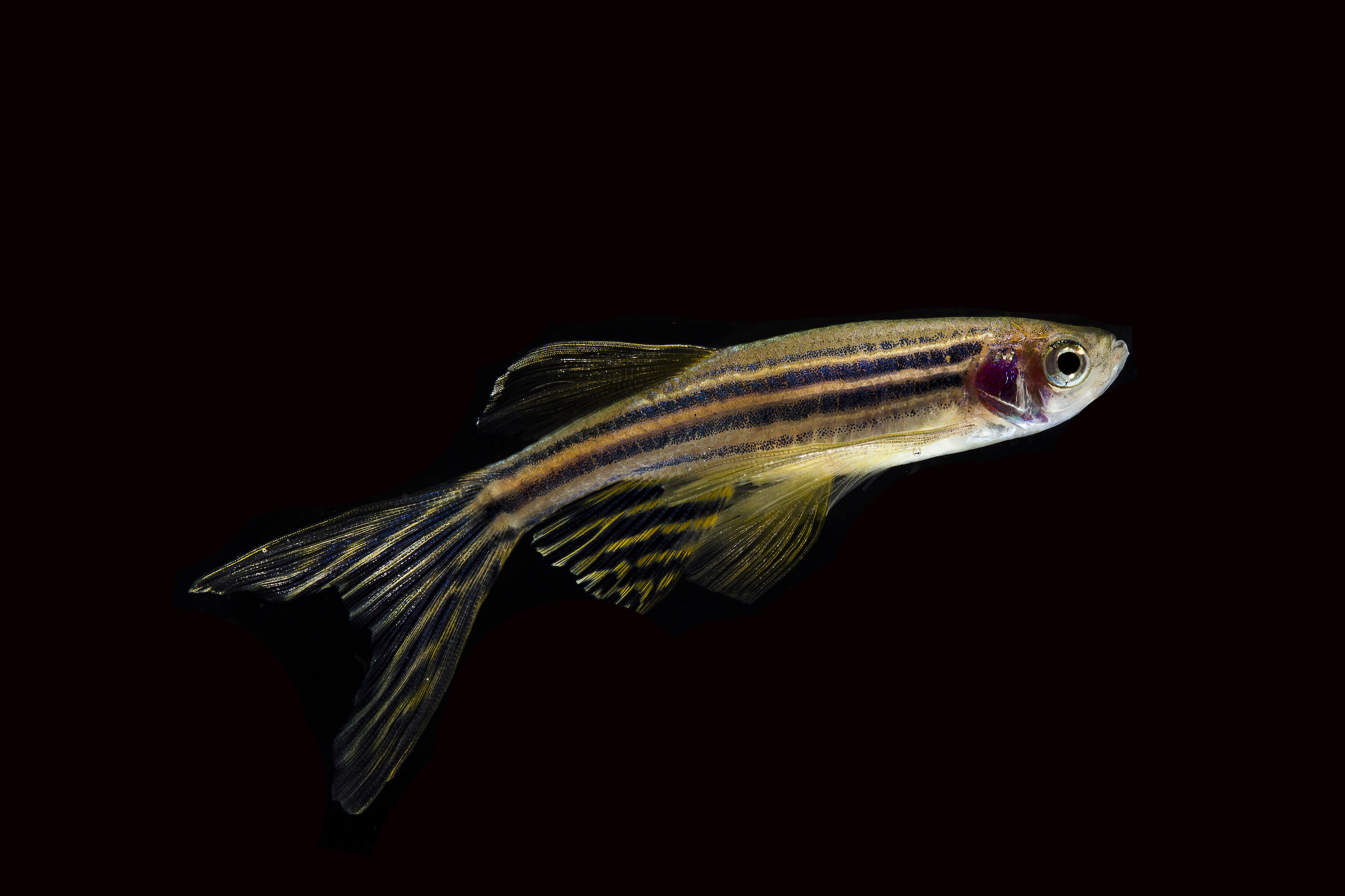 A new study from the University of Utah Health used zebrafish to examine addiction and the corresponding neural responses in the brain.