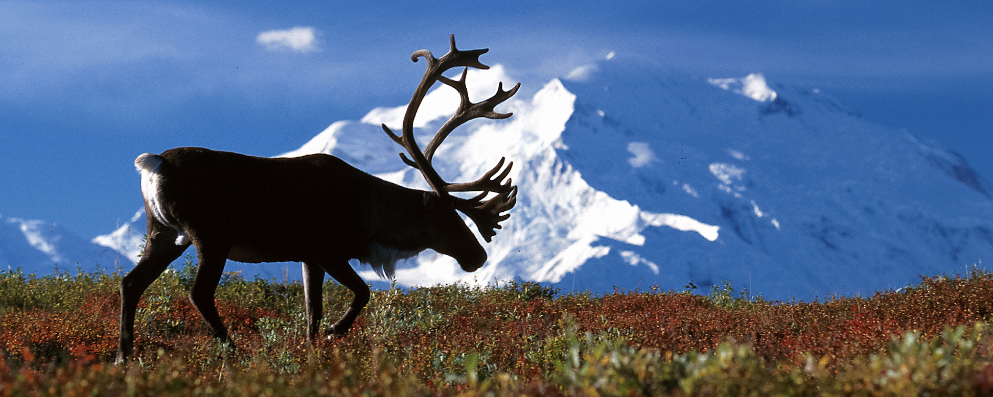 Caribou have drastically dropped in population size to endangerment levels, but their native predators aren't the problem.