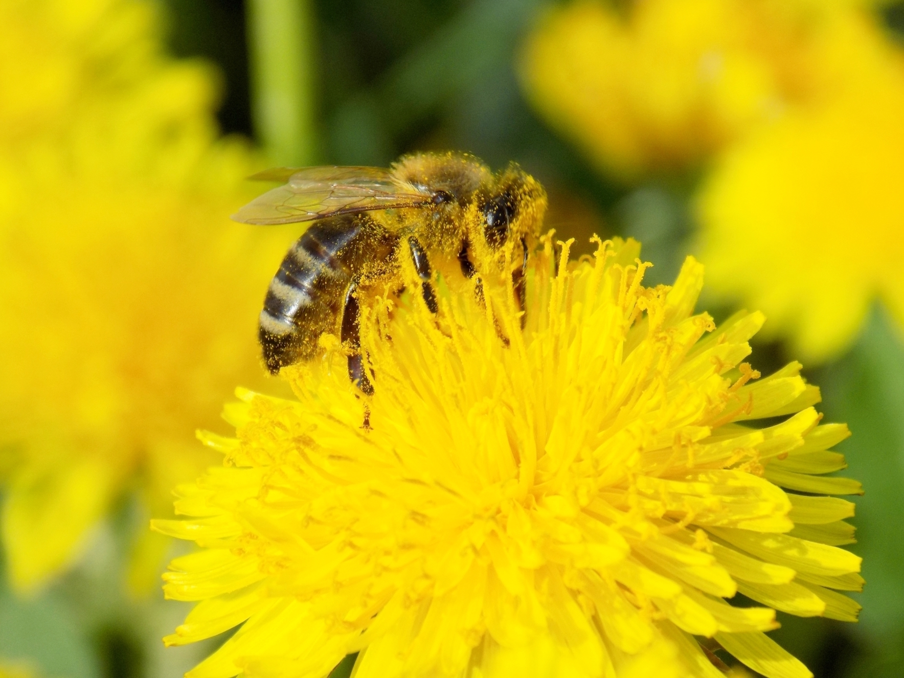 New research has proven that even after grooming, pollen stays on the bee's body in the perfect location for plants to receive it.