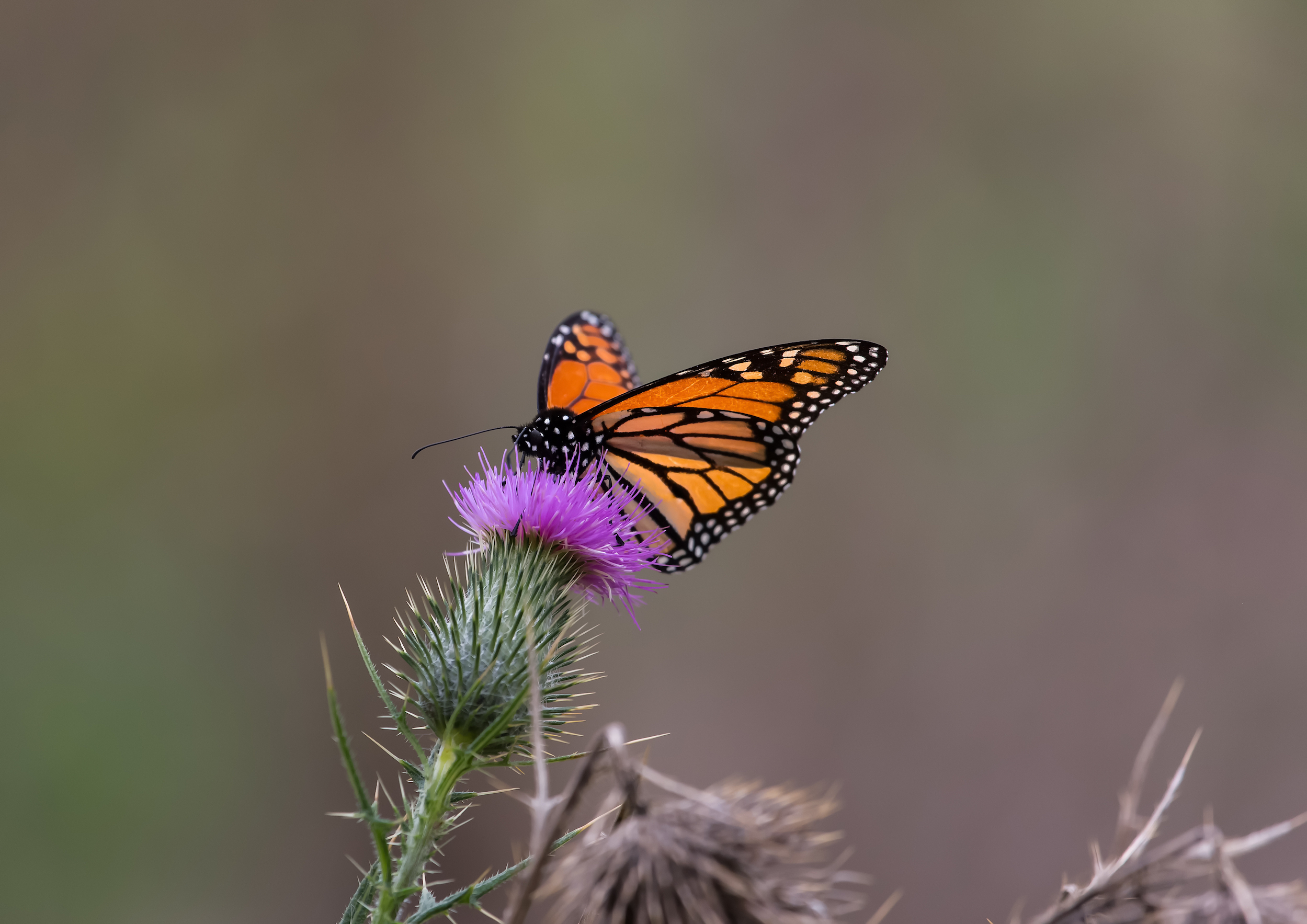 Western monarch butterflies are reaching unprecedented levels of endangerment, and their populations are much lower than previously realized.