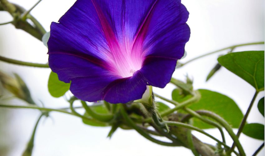 In a new breakthrough, Japanese scientists successfully changed the color of a morning glory using the CRISPR-Cas9 gene editing tool.