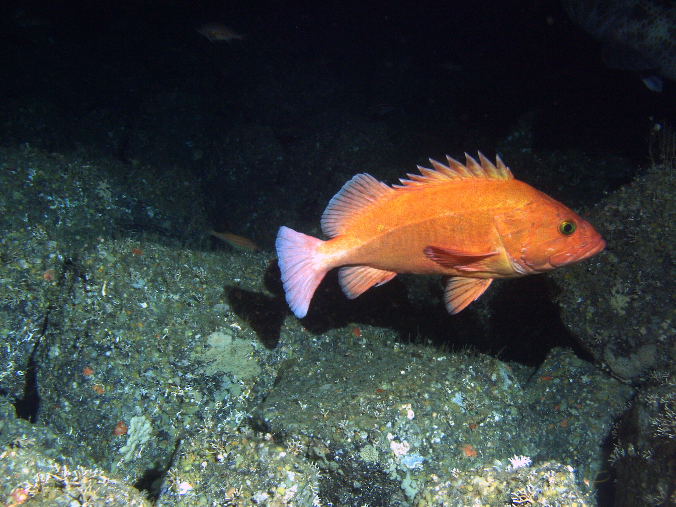 A new study from the University of Washington has found that older fish are rapidly depleting due to overfishing.