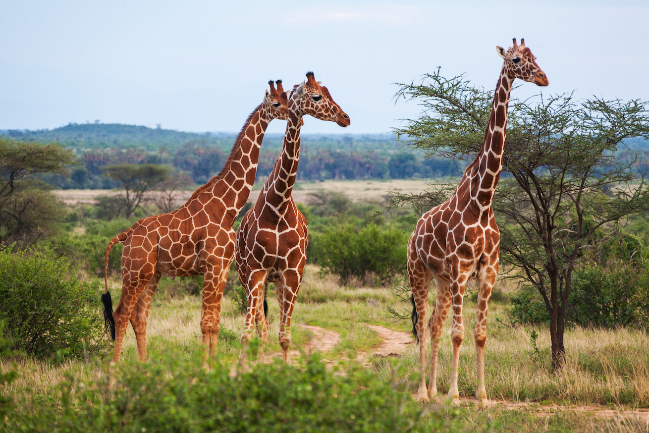According to a new study, giraffes have evolved such disproportionate neck and legs in order to manage body heat, in hot, dry climates.