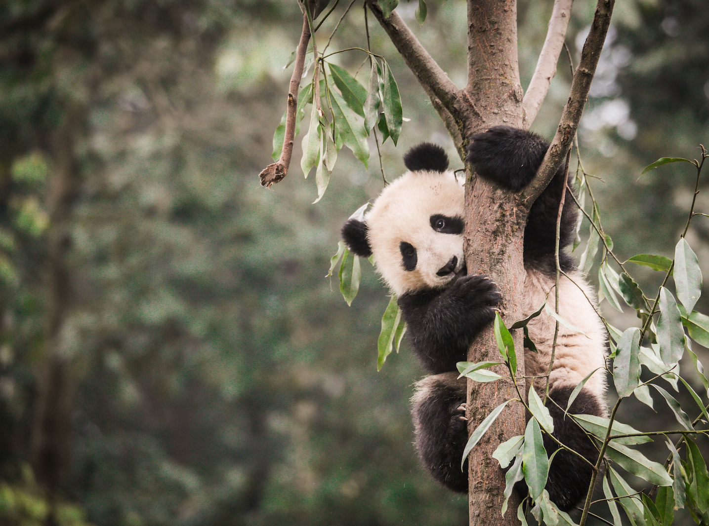 A new study has found that panda habitats cover less area and are more fragmented than when they were first listed as an endangered species.