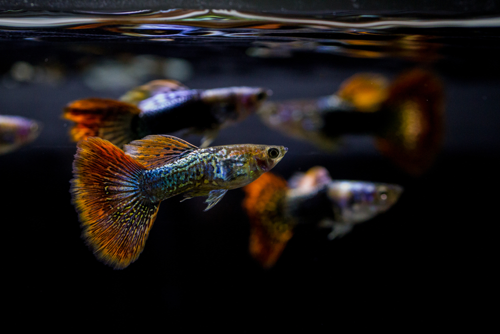 Scientists studying risk aversion among guppies have discovered the little fish have complex inner lives.