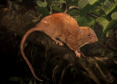 A new giant rat species has been discovered in the Solomon Islands hanging out in trees and cracking open coconuts with its teeth.