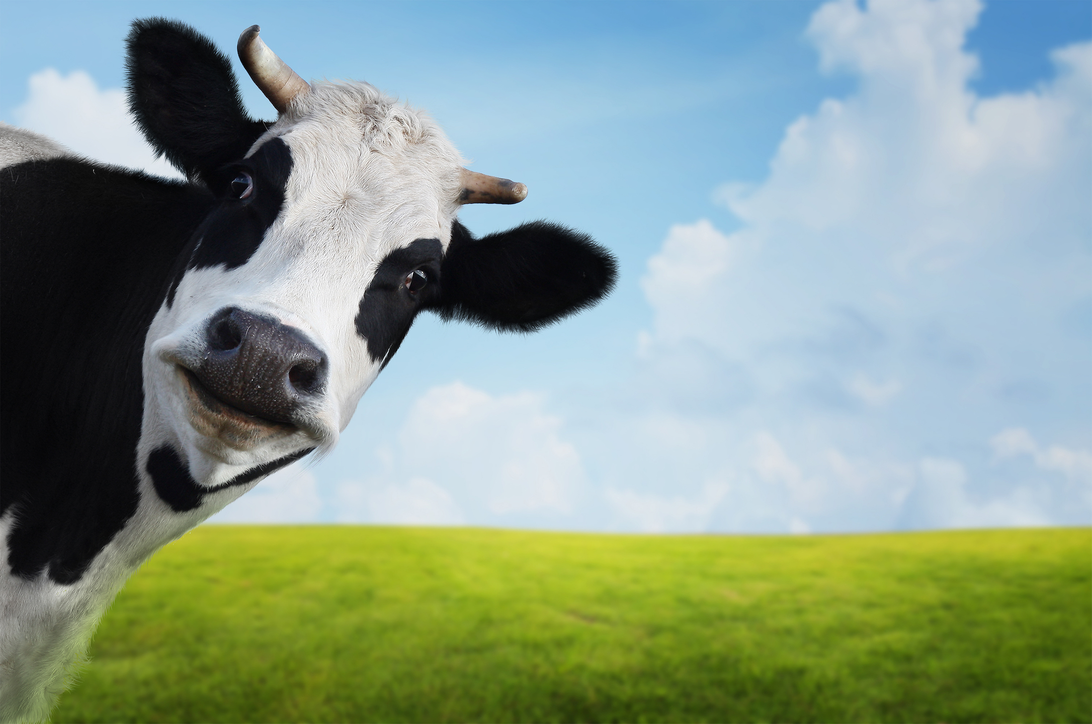 A new study reveals that global livestock methane emissions have been significantly underestimated due to use of outdated guidelines.