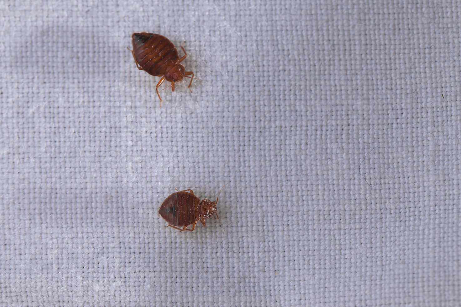 How To Eradicate Bed Bugs