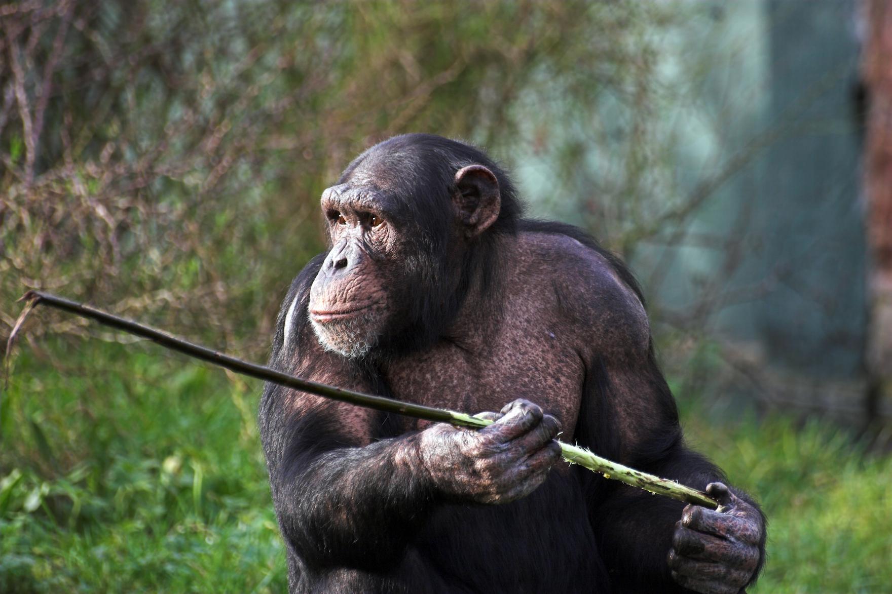 do chimpanzees have culture