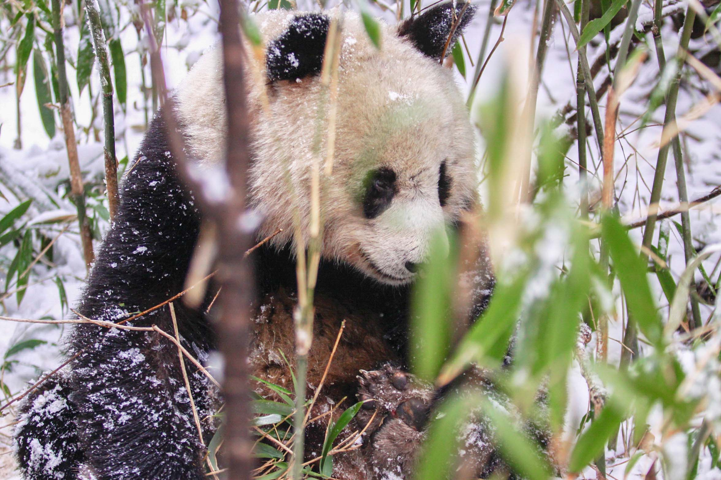 Increased livestock grazing in protected forests is shrinking the habitats of wild giant pandas and driving them away.
