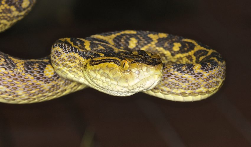 Unlike most animal bites, with snakes it's not the tooth wound that you have to worry about, it's the venom released.