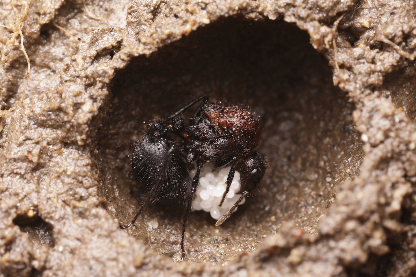 Ant queens who have chosen to co-found a colony were discovered performing a strange burial ritual if one of the co-queens died.