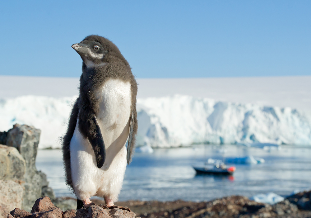A colony of Antarctic penguins has seen a massive die-off of chicks for the second time in three years.
