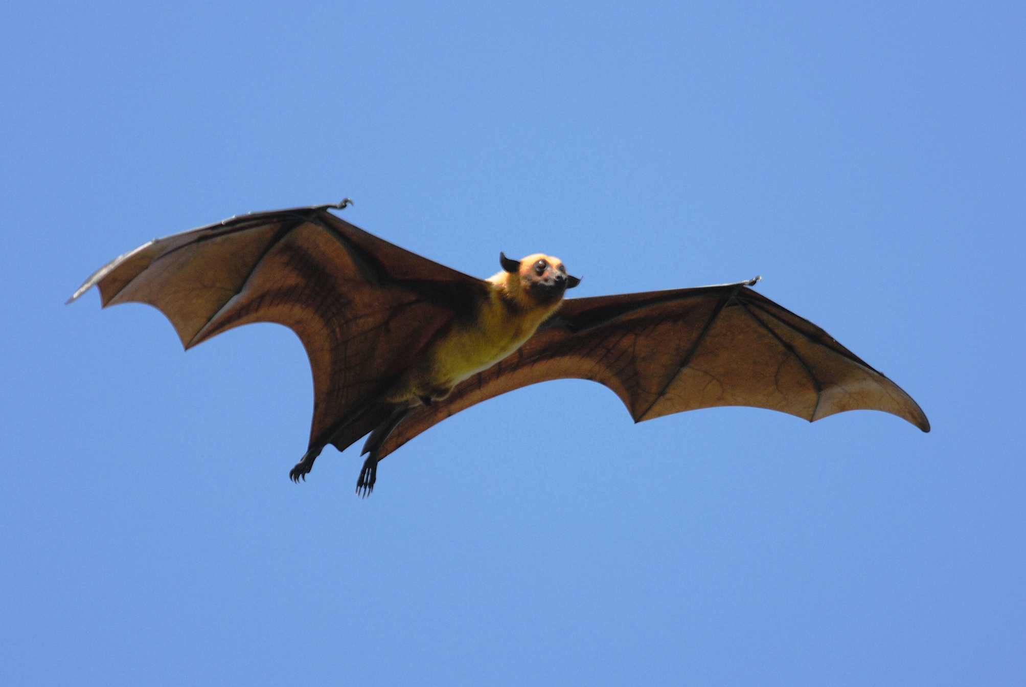 On many Pacific islands, hunting has dramatically reduced flying fox fruit bat populations, where their teeth are sometimes used as currency.