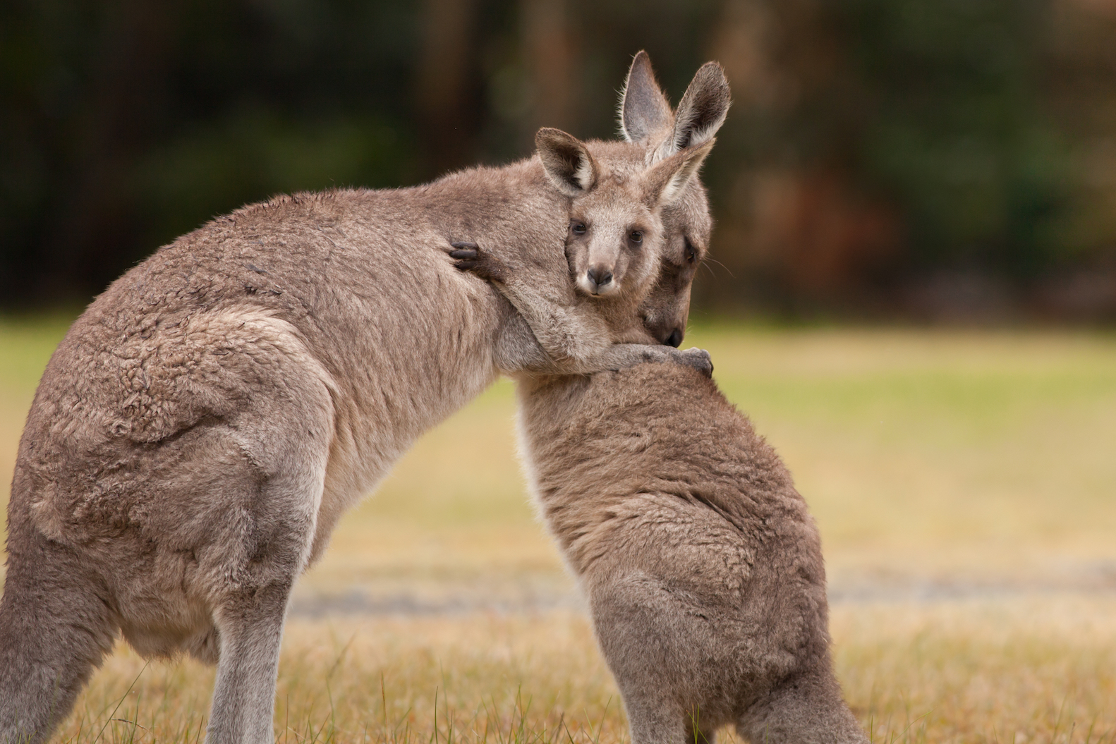 Researchers found that an extinct species of kangaroos known as fanged kangaroos survived millions of years longer than previously thought.