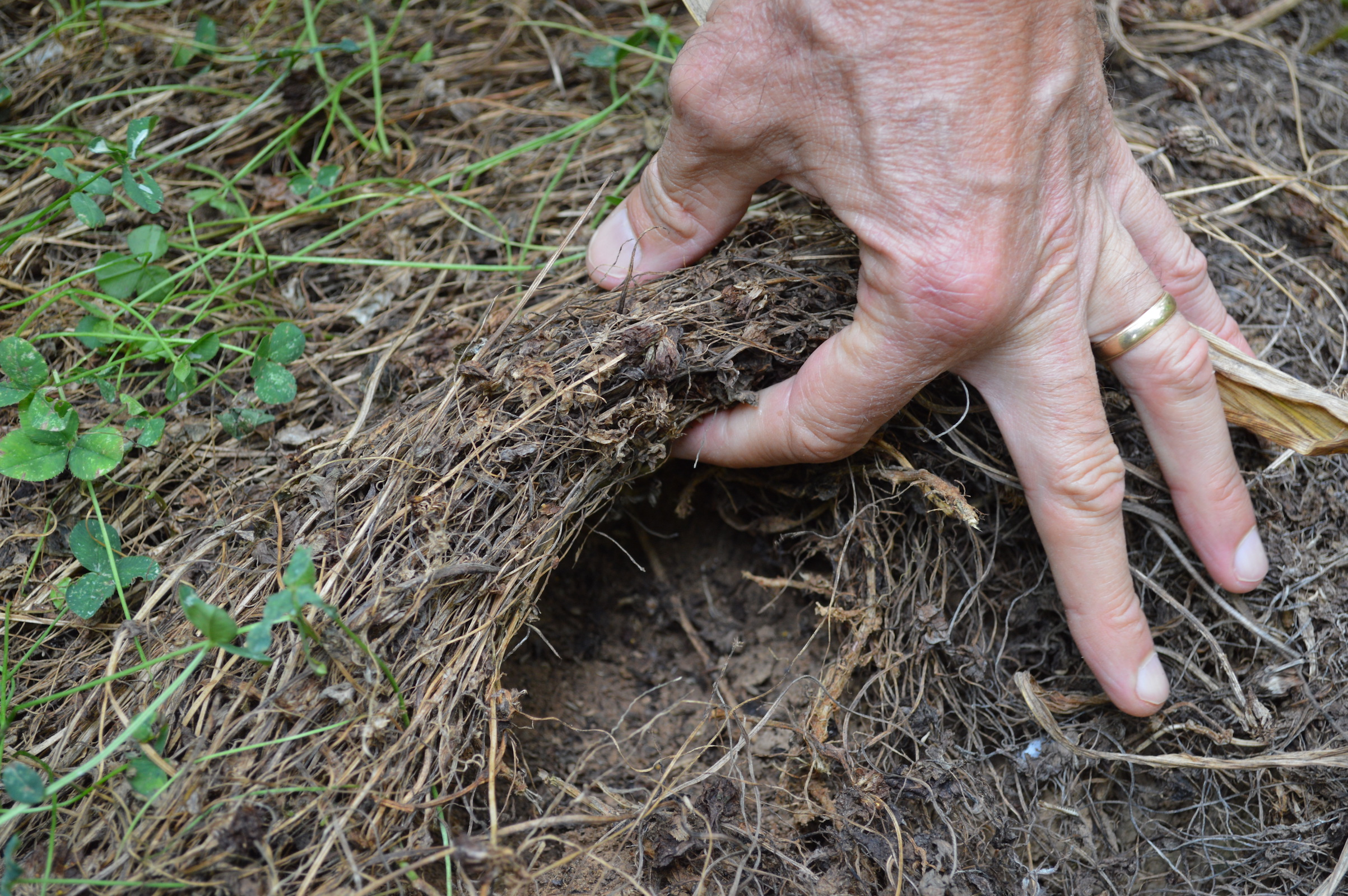 A new study reveals that living mulch is a crop that serves as a ground cover and provides many benefits to soil and gardens.