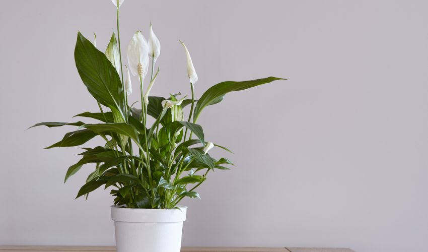 Spathiphyllum, also known as the peace lily, is native to tropical regions of the Americas and southeastern Asia.