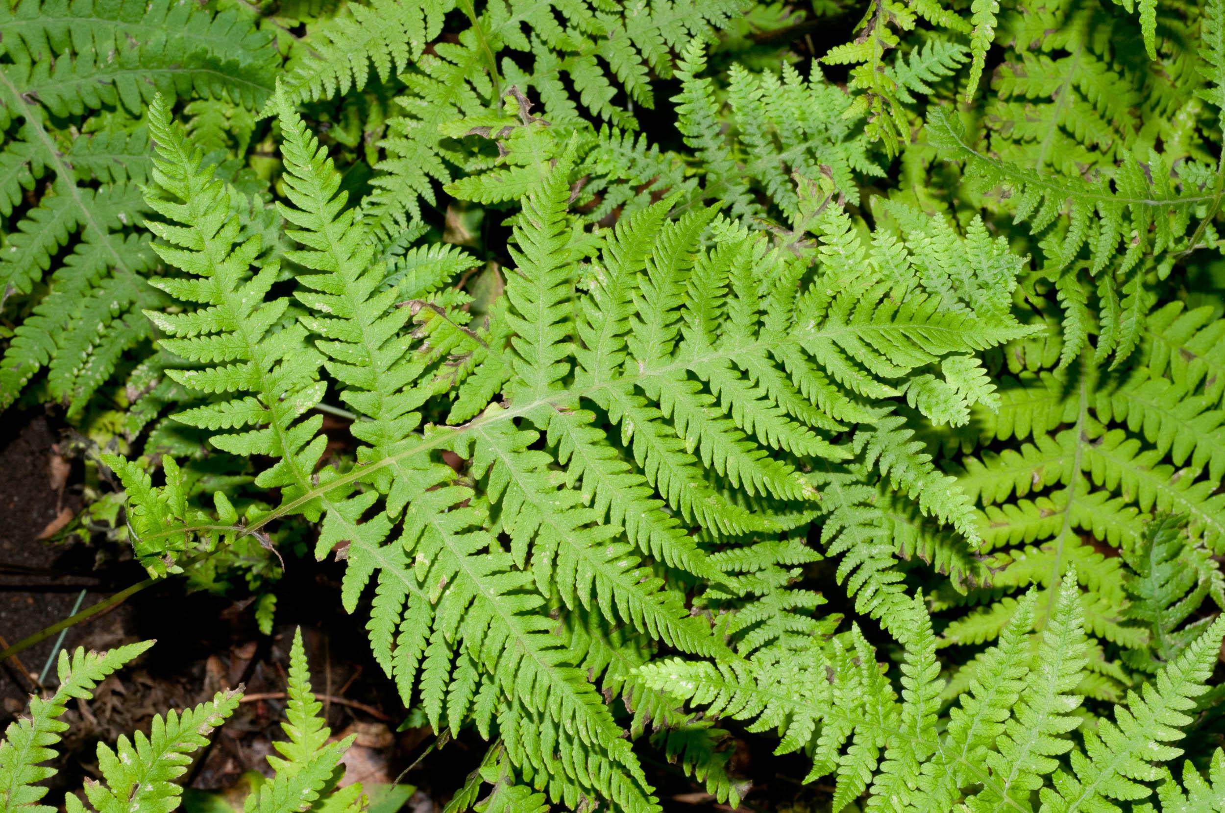 Broad leaf fern pictures Business women s appearance management, career development