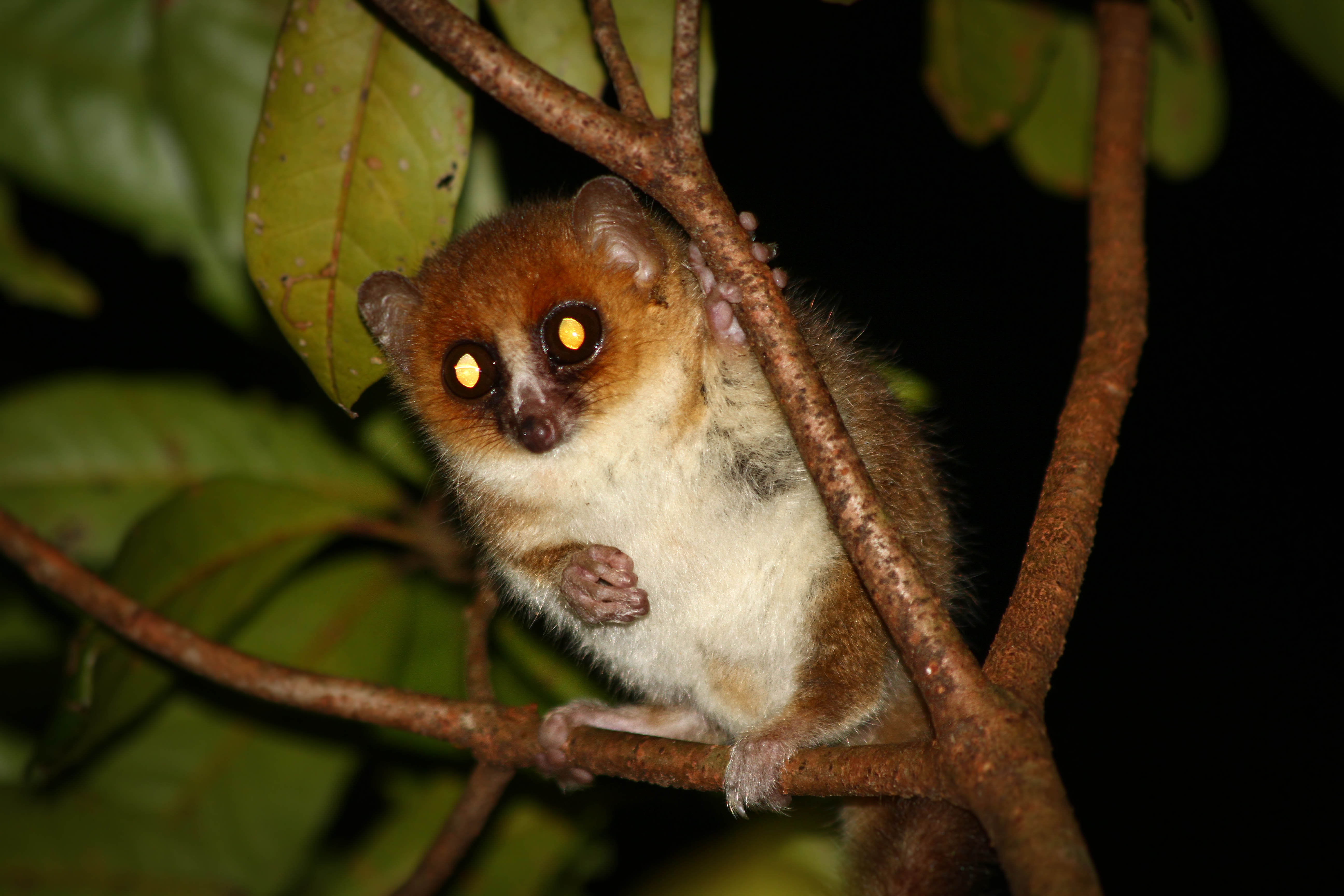 Found only on the island of Madagascar off the coast of Africa, our more distant primate cousin, the lemur lives a bizarre life.