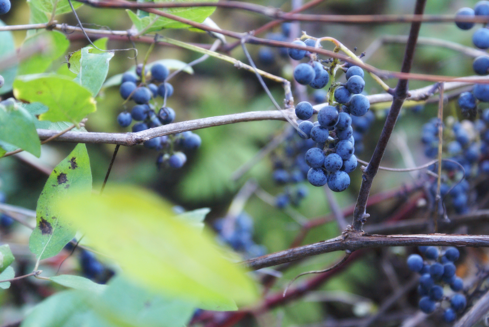A new study conducted by researchers from the University of Milan has found a natural alternative to chemical pesticides in wild grape yeast.