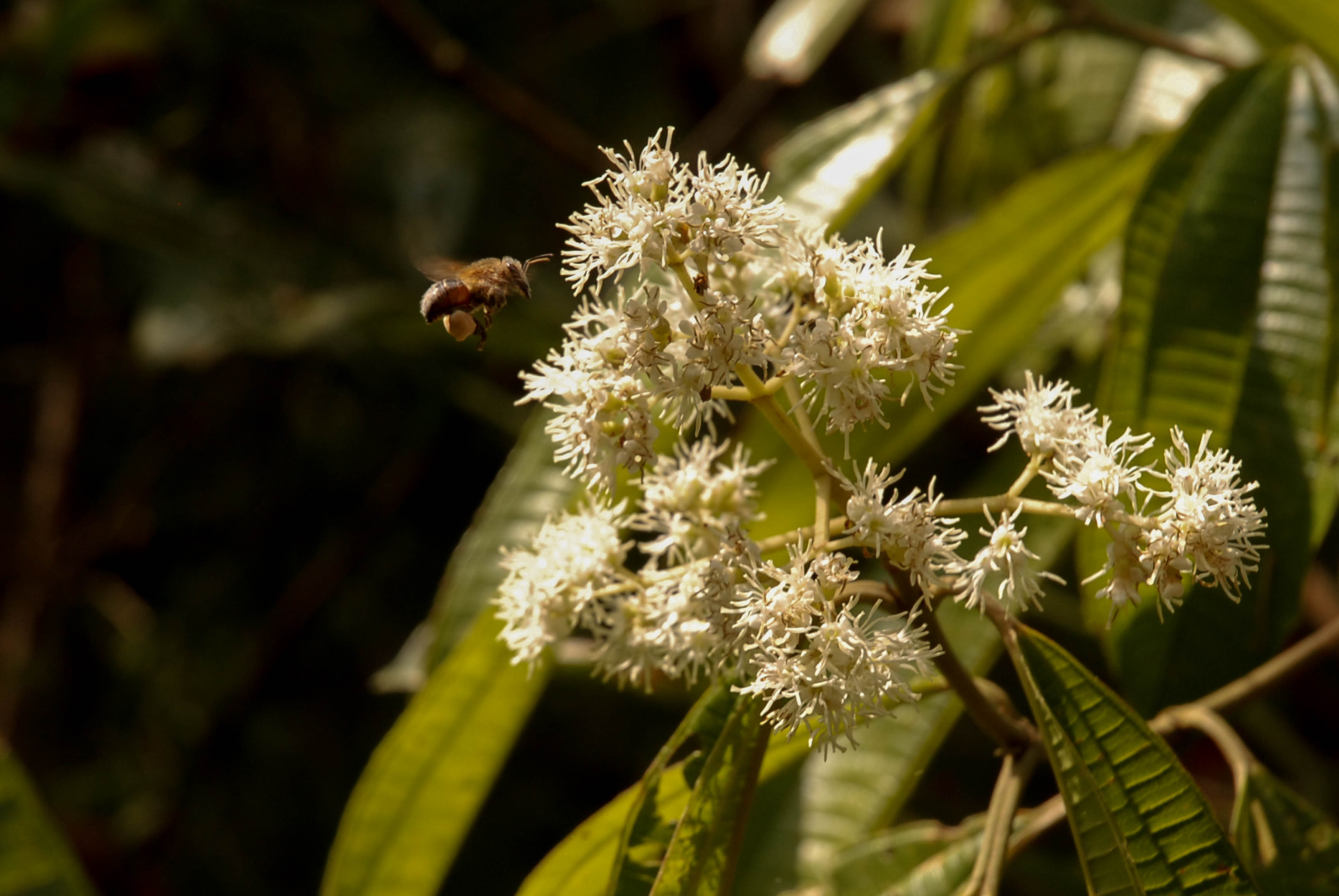 Scientists have discovered that tiny pollinating bees play matchmaker for trees across long distances and help promote genetic diversity.