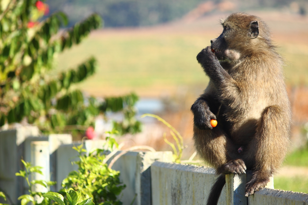 Baboons in Cape Town, South Africa are known for entering into urban areas to steal food using sneaky tactics.