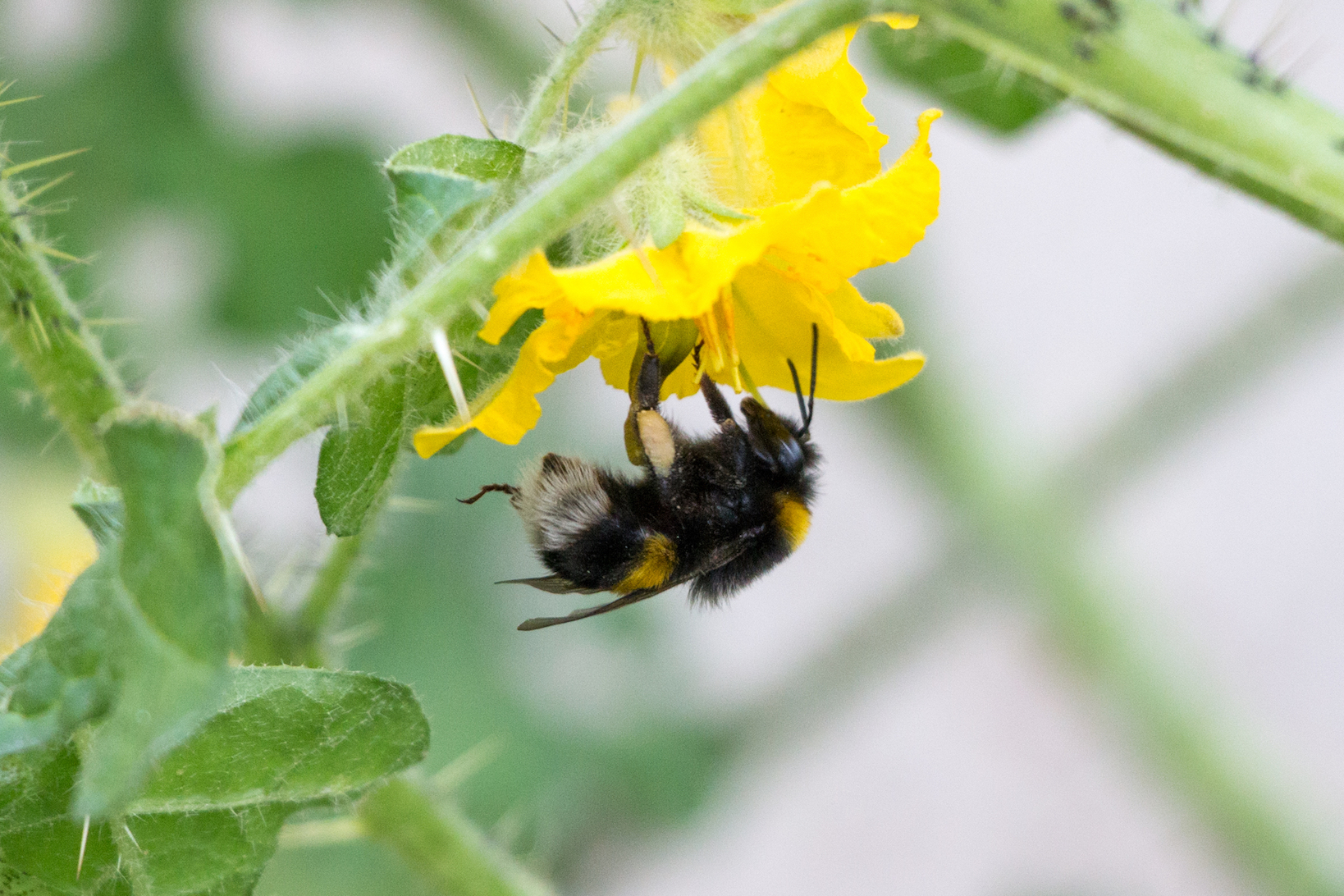 A new study from the University of Stirling has found that pesticides may interfere with a bumblebee's ability to buzz and collect pollen.