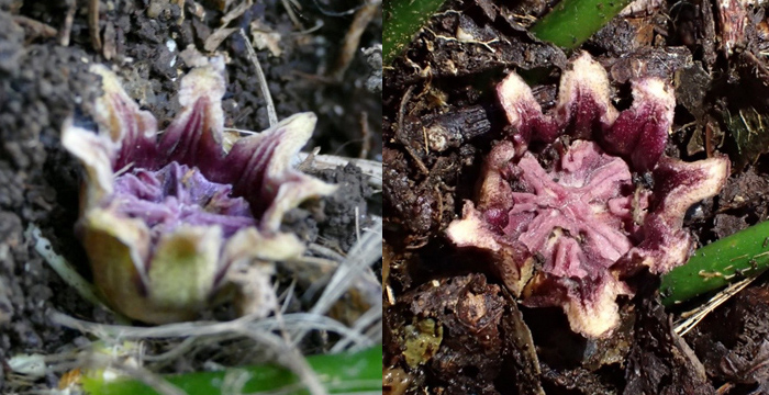 This flowering plant is primarily pollinated by fungus gnats, which is likely due to the fact that it intentionally resembles a mushroom.