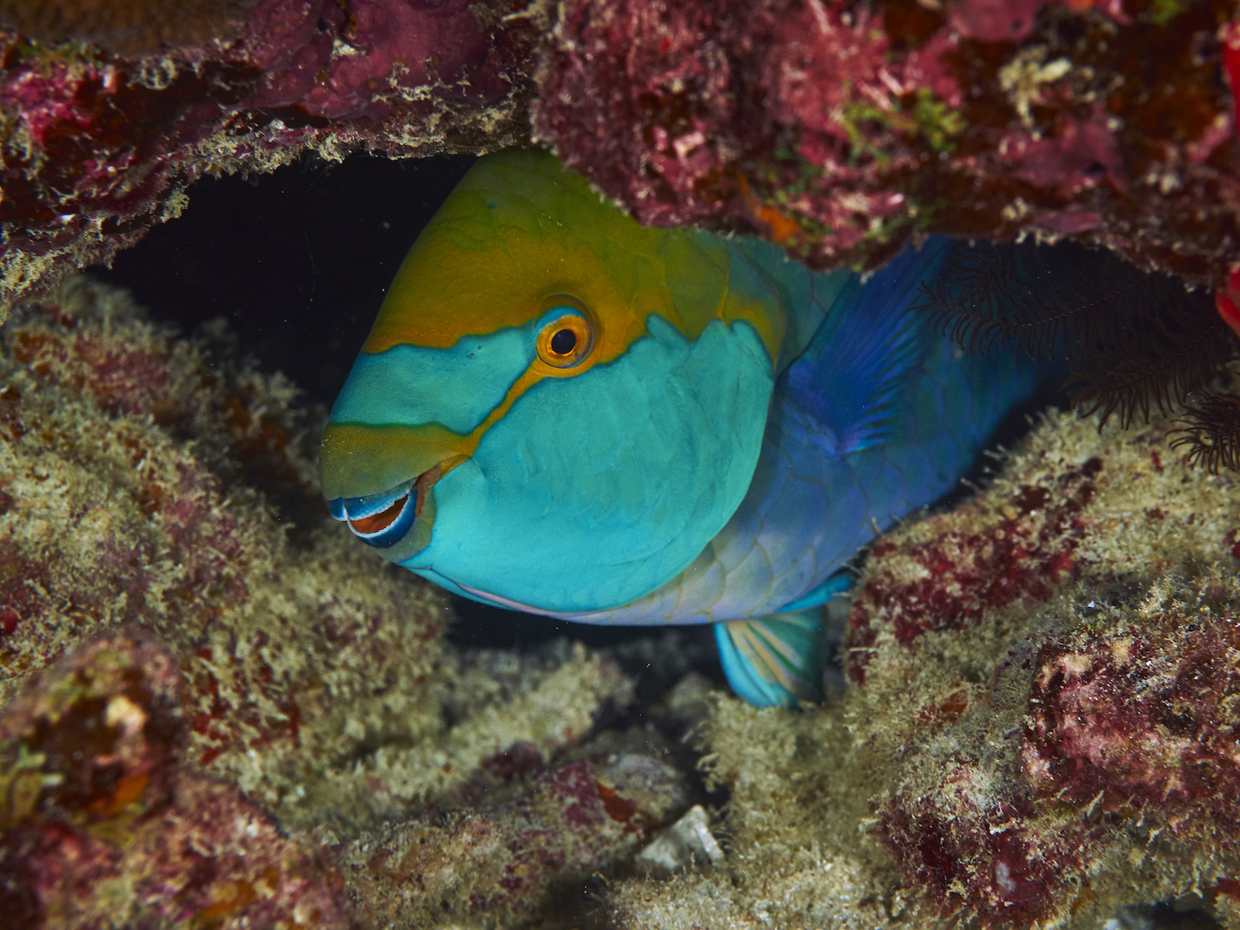 Scientists have now identified a woven microstructure that enables parrotfish to chomp on coral tirelessly.