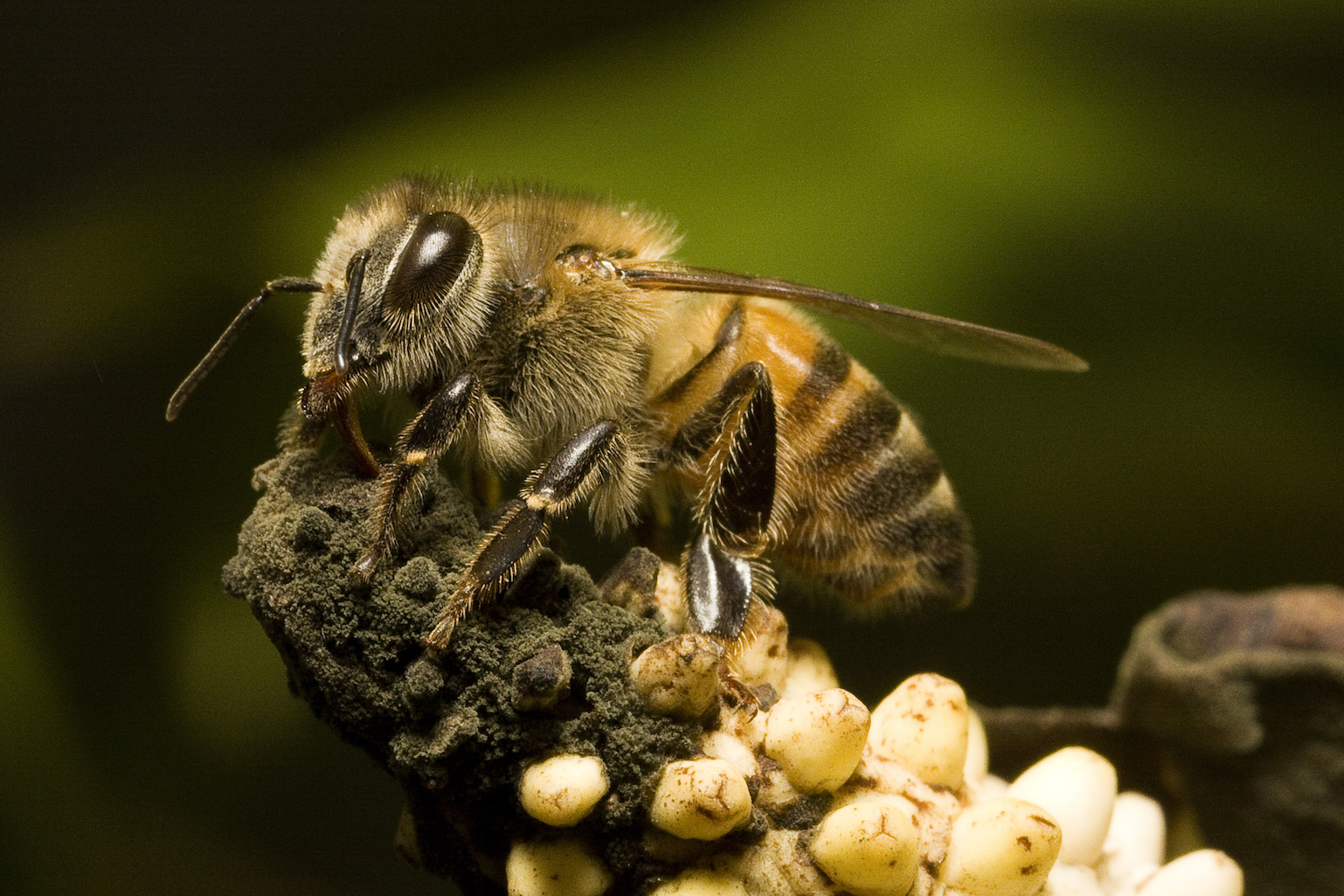 A new study of Africanized honey bees in Puerto Rico may explain why these killer bees have become more gentle over the last 30 years.
