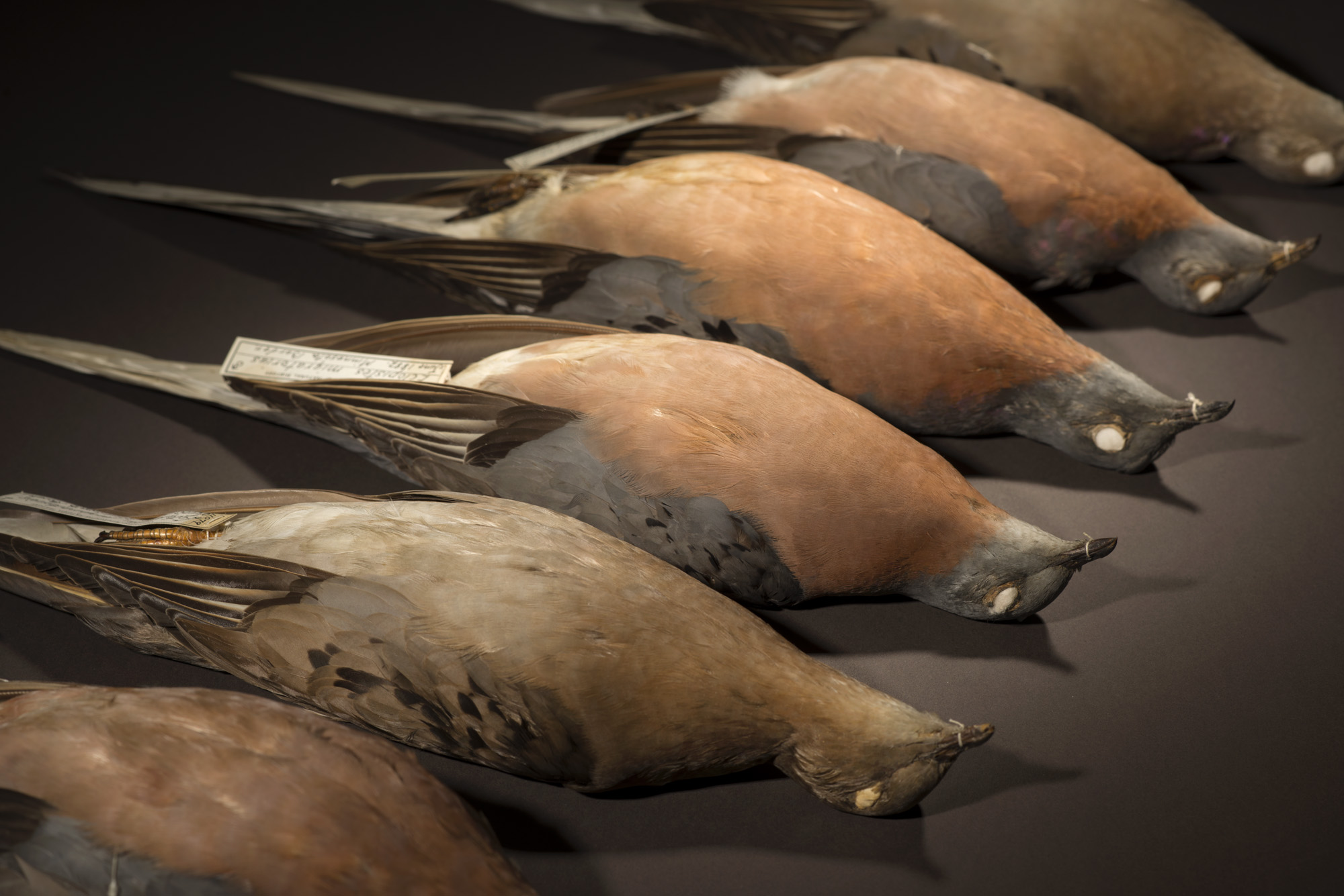 Researchers postulate that passenger pigeons — while well-adapted to living in huge flocks — were poorly adapted to living in smaller groups.