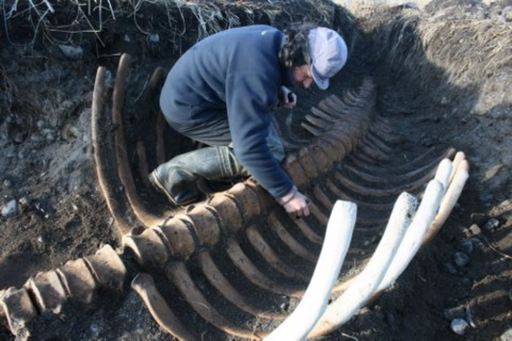 The headless remains of a Pleistocene sea monster, the now extinct Steller's sea cow, were found on a Russian island recently.