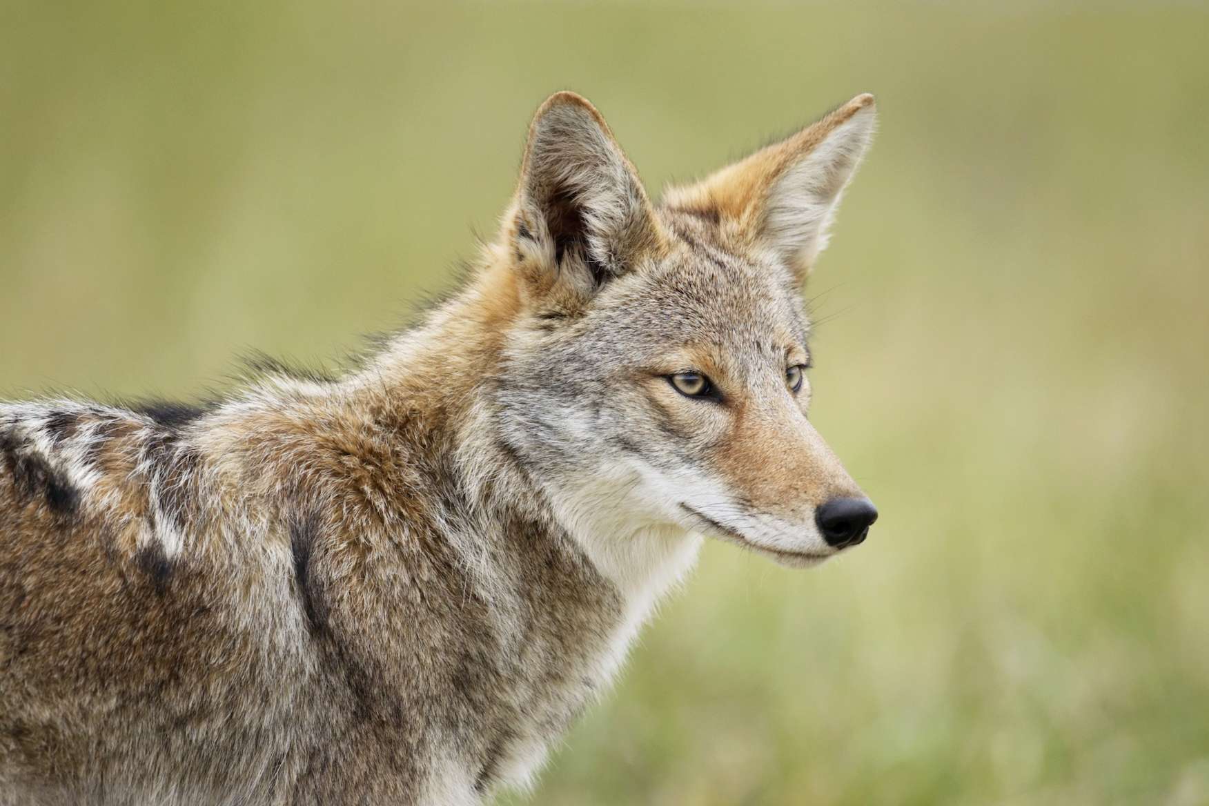 """Coyotes on the East Coast are beginning to look more like wolves and are even sometimes referred to as """"coywolves."""""""
