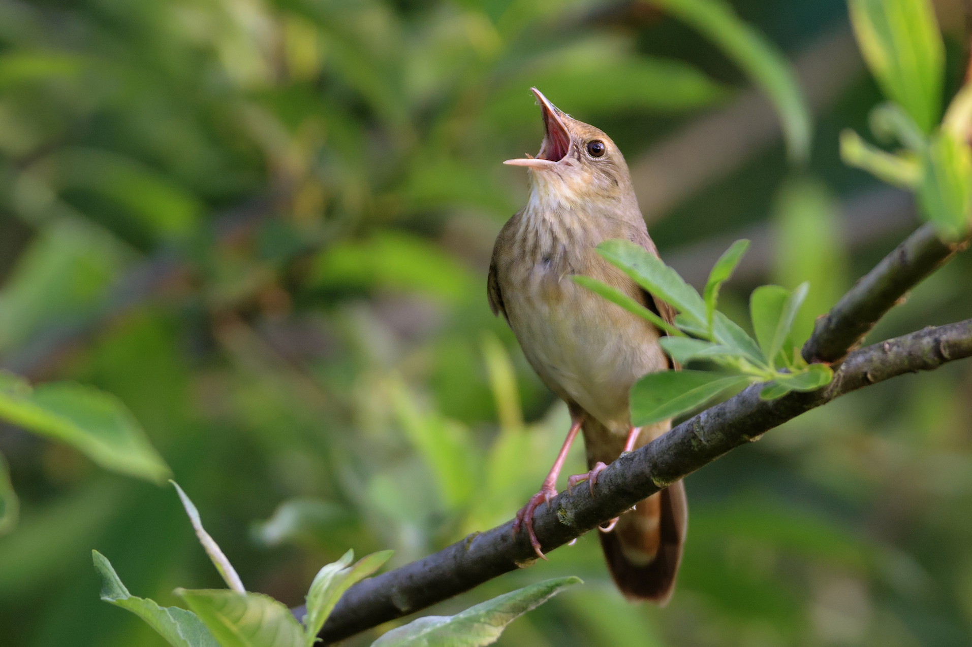 Previous research has suggested that songbirds and humans share the same innate process that guides how they learn and produce sounds.