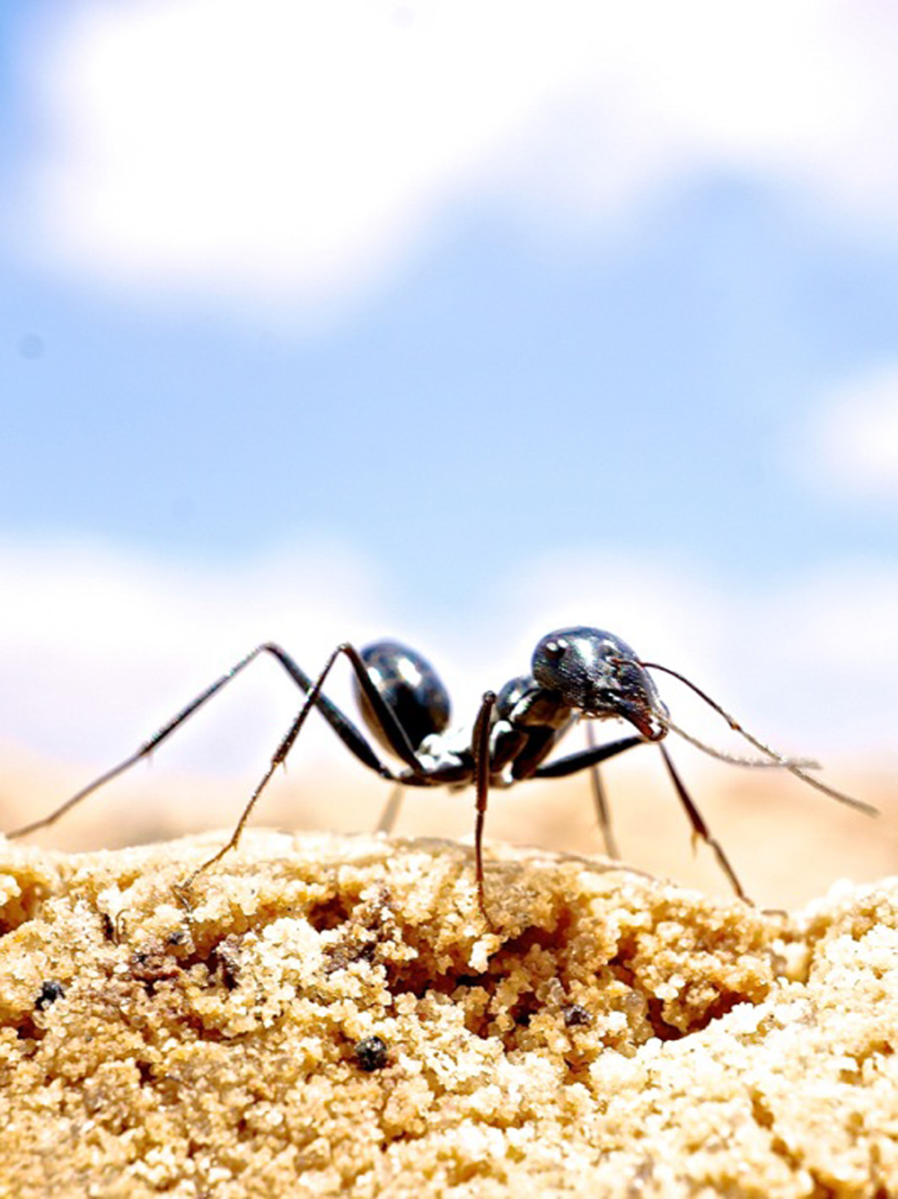 While returning to their nest, desert ants can distinguish between ambiguous and unambiguous landmarks, according to new research.