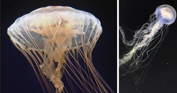The sea nettle jellyfish is common along the East Coast of the United States, but is actually two different species.