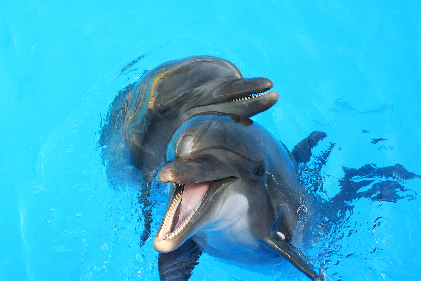 Scientists have revealed that adult humpback dolphins present potential partners with gifts as a type of mating ritual.