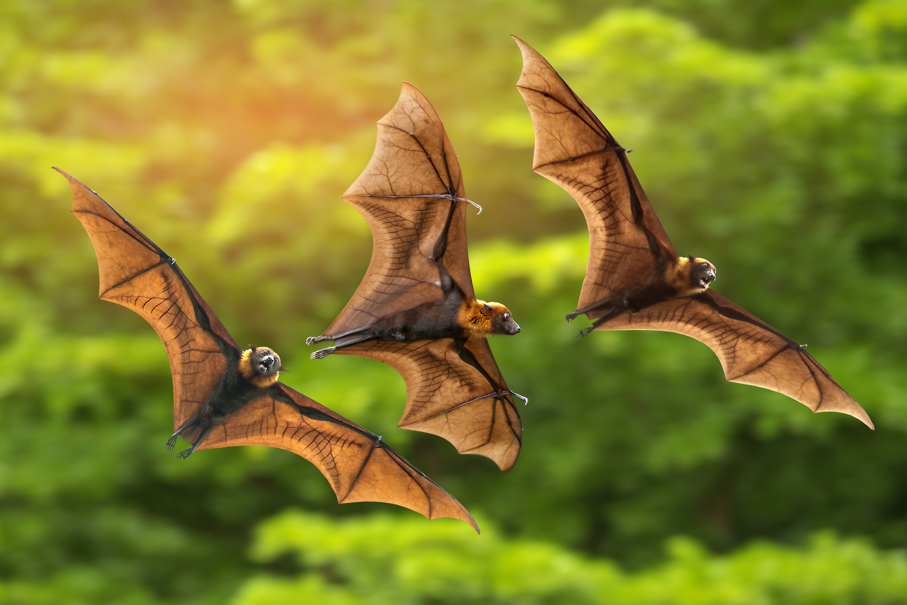 How do bats navigate dark environments at such fast speeds? They use echolocation, or biosonar, to adapt to the environment around them.