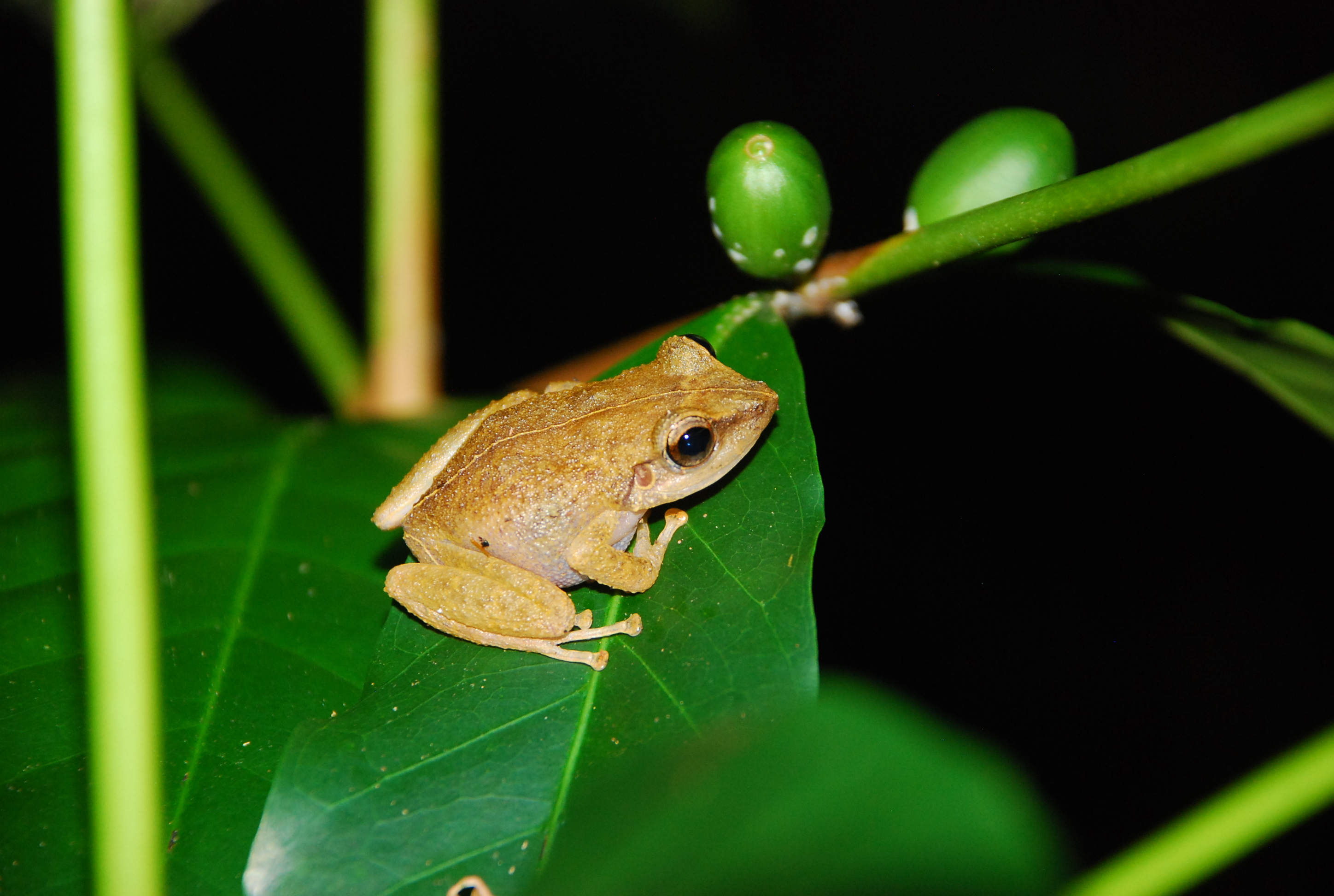 One thriving, non-native frog species in Hawaii has suddenly boosted the numbers of several invasive bird species.
