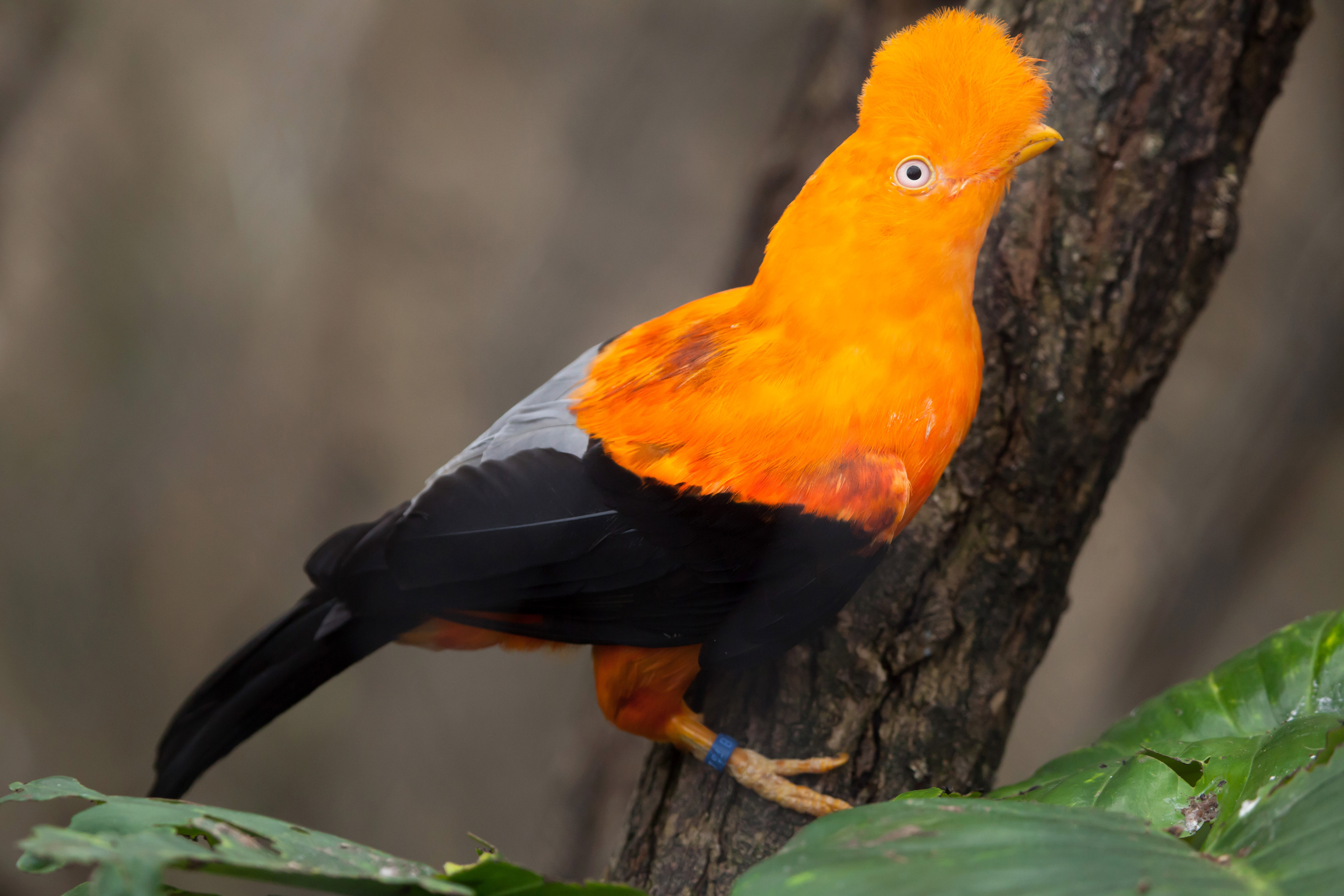 A firsthand account from Mindo, Ecuado, where human disturbance has had a huge impact on the mating habits of native birds.