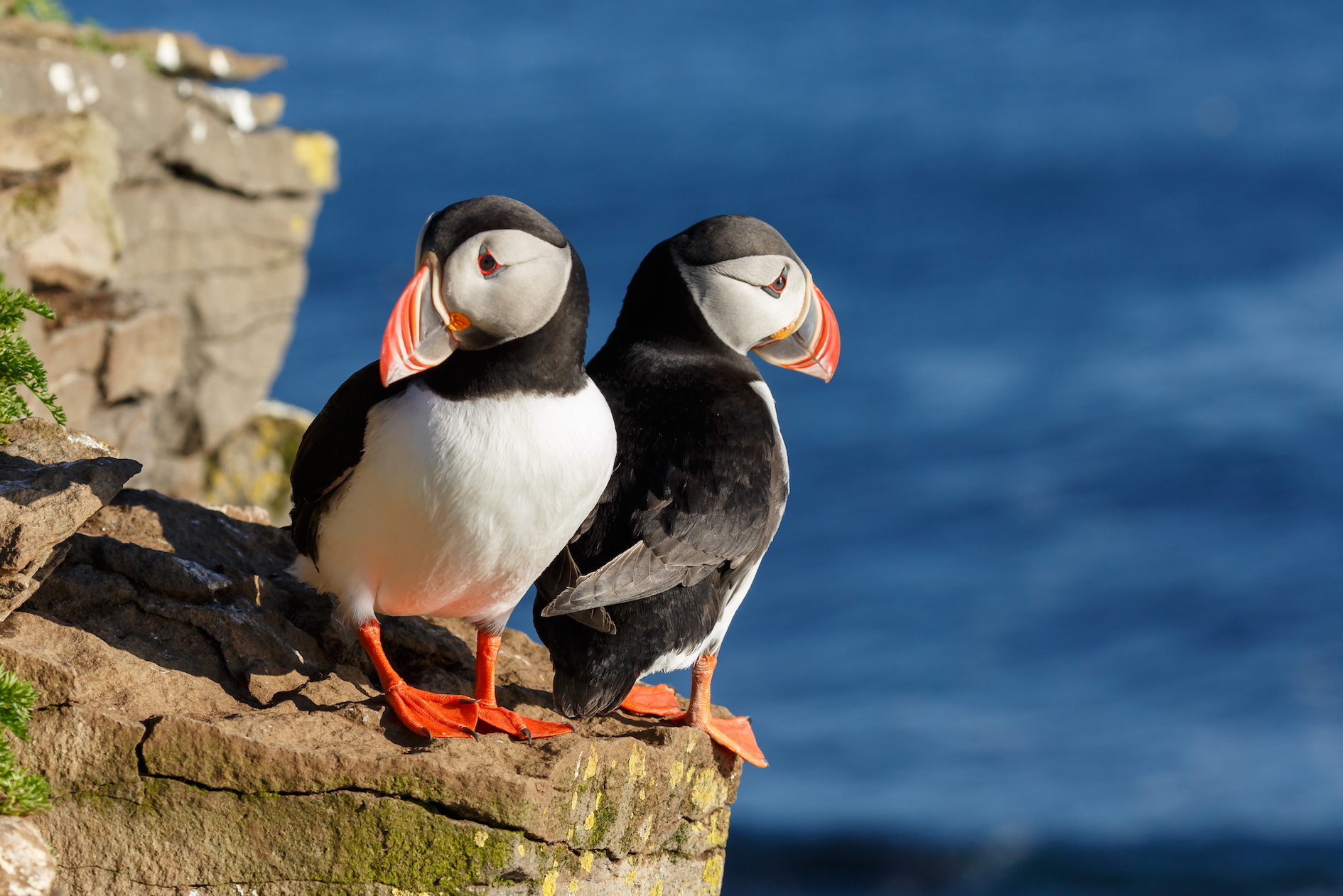 A new study has found that puffins who travel further distances during the winter are at a disadvantage for breeding the following spring.
